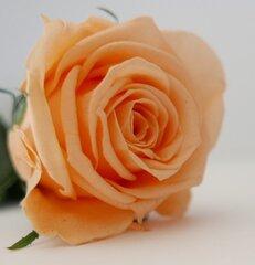 Stabilizēta roze Amorosa (peksiku)